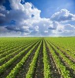Sojabohnenfeld, das am Frühling reift stockbild