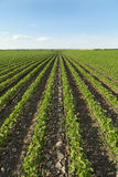 Sojabohnenfeld, das am Frühling reift lizenzfreies stockfoto