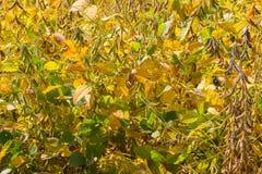 Sojabohnenfeld an einem sonnigen Tag als Erntezeit nähert sich lizenzfreies stockbild