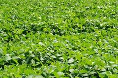 Sojabohnenhülsen und Sojabohne treiben mit Sojabohnenstamm blätter, der noch junger grüner, landwirtschaftlicher Sojabohnenölplan lizenzfreie stockfotografie