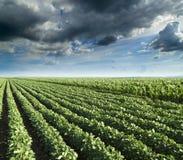 Sojaboon naast graangebied die bij lentetijd, landbouwlandschap rijpen Royalty-vrije Stock Afbeeldingen