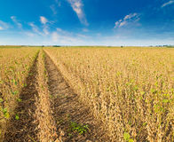 Sojaboongebied rijp vlak vóór oogst, landbouwlandschap Stock Fotografie