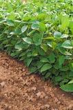 Sojainstallaties op gecultiveerd landbouwgebied Stock Foto's