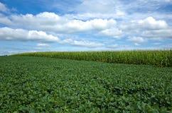 Sojas y maíz Foto de archivo libre de regalías