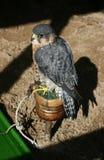 sokół wędrowny ptasi zdobycz Obraz Royalty Free