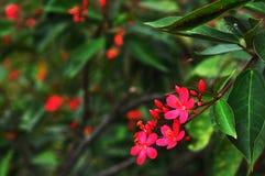 Soka fiorisce il rosso fotografie stock