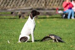 Sokoła wędrownego jastrząbek, Falco peregrinus Szybcy zwierzęta w świacie zdjęcia royalty free