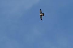 Sokoła wędrownego jastrząbka latanie Zdjęcia Stock