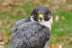 Sokoła wędrownego jastrząbka ptaka portret Zdjęcie Royalty Free