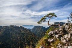 Sokolica - opinión el enano más que de 500 años del pino Fotografía de archivo