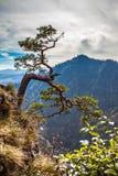 Sokolica - opinión el enano más que de 500 años del pino Imagenes de archivo