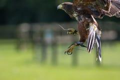 Sokolnictwo Haris jastrzębia ptak zdobycz na pokazie Obrazy Stock