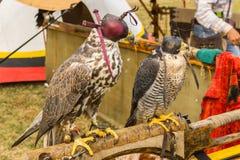 Sokolnictwo ptaki zdobycz Obraz Royalty Free