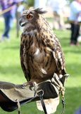 Sokolnik z rękawiczką trenować ptaki Zdjęcie Royalty Free
