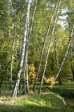 Sokolniki park, autumn landscape. An autumn landscape with birch trees Royalty Free Stock Images