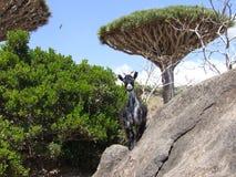 Sokotra海岛,也门,山羊,龙血树 免版税库存图片
