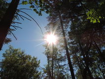 Sol ändå träden Royaltyfria Bilder