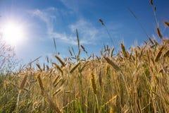 Sol över kornfält Fotografering för Bildbyråer