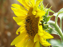 Sol-blomma Arkivfoto
