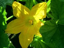 Sol- blommapumpor, en underbar sommar arkivfoton