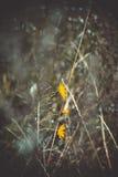 Sol- blommor på ett mörkt fält Royaltyfria Bilder