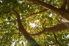 Sol brillada a través del árbol grande Fotografía de archivo