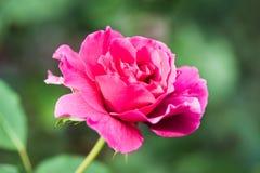 Sol brillante iluminado flor de Rose Fotos de archivo libres de regalías