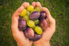 Sol claro das uvas das ameixas das mãos dos frutos Imagens de Stock Royalty Free