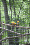 Sol Conures eller solparakiter Aratinga Solstitialis Royaltyfria Foton