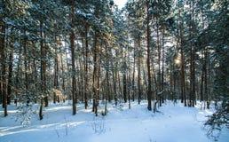 Sol da geada do inverno da floresta da neve da manhã Imagens de Stock