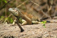 Sol da iguana Imagem de Stock Royalty Free