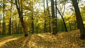 Sol da madeira das folhas de outono video estoque