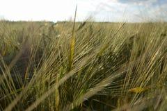 Sol de aumentação do campo de trigo Imagens de Stock