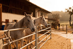 Sol de la mañana de los caballos Imagenes de archivo