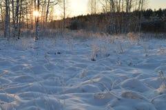 Sol de la mañana del invierno entre los troncos de abedules en el bosque congelado de la nieve Foto de archivo libre de regalías