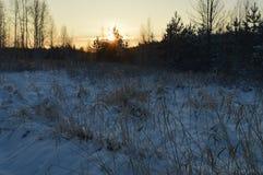 Sol de la mañana en el top de un pino joven en el amanecer en un bosque nevoso del invierno Fotos de archivo