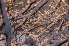 Sol de la mañana que brilla intensamente en una manta fresca de la nieve en los árboles Fotos de archivo libres de regalías