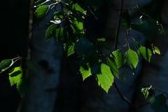 Sol de la mañana a través de las hojas del abedul Foto de archivo libre de regalías