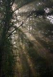 Sol de la madrugada que brilla a través de ramificaciones del abedul Fotos de archivo libres de regalías