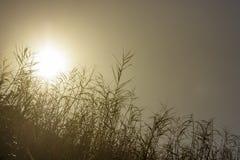 Sol de la madrugada que brilla a través de las cañas fotos de archivo libres de regalías