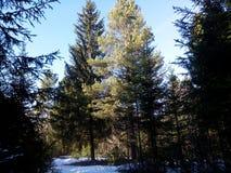Sol de la primavera en un bosque nevoso Foto de archivo libre de regalías