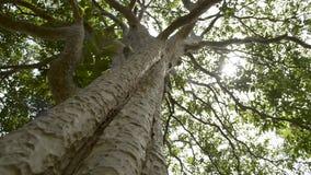 Sol de la primavera que brilla suavemente a través del árbol grande metrajes