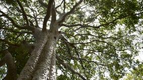 Sol de la primavera que brilla suavemente a través del árbol grande almacen de metraje de vídeo
