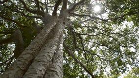 Sol de la primavera que brilla suavemente a través del árbol grande almacen de video