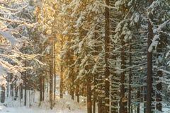 Sol de la tarde en el bosque Imágenes de archivo libres de regalías