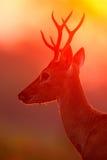 Sol de la tarde, escena mágica con los ciervos, ciervos de Pampa, bezoarticus de Ozotoceros, sentada en la hierba verde, sol de l imagen de archivo libre de regalías