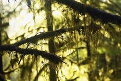 Sol de oro verde a través de árboles de la selva tropical y Imágenes de archivo libres de regalías