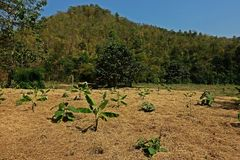 Sol de paille de riz paillant pour empêcher l'mauvaise herbe pour germer et pour garder l'humidité image libre de droits