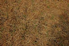 Sol de paille de riz paillant pour emp?cher l'mauvaise herbe pour germer et pour garder l'humidit? image libre de droits