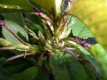 Sol del insecto de hojas de la cereza Imágenes de archivo libres de regalías